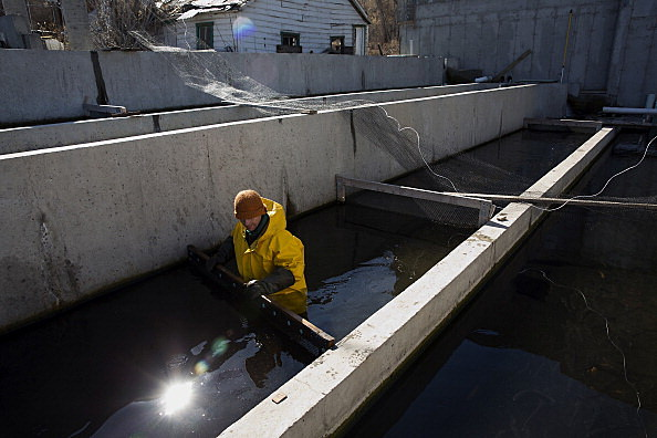 Operations Inside The Spring Lake Trout Farm